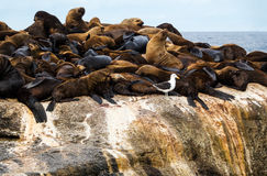 Fur seal Arctocephalus pusillus at Seal Island, South Africa Stock Images