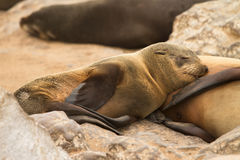 Fur seal baby Royalty Free Stock Photos