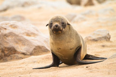 Fur seal baby royalty free stock photo