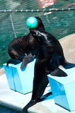 Fur seal with ball Stock Photo