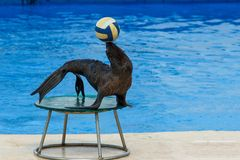 Fur seal with ball Royalty Free Stock Photos