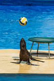 Fur seal with ball. Fur seal plays with ball Royalty Free Stock Image