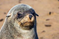 Fur seal basking in the autumn sun. Stock Image