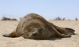 Fur seal on the beach. The cub South African fur seal is sleeping on the beach Stock Images