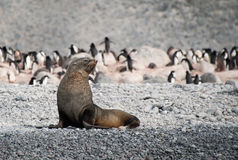 Fur seal on the beach near penguins, Antarctica Stock Image