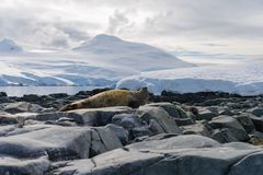 Elephant seal on beach with stones in Antarctica stock images