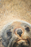 Fur seal close-up. Face of fur seal up close with golden fur and whiskers Stock Photography