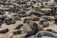 Fur Seal colony at Cape Cross (Namibia) Royalty Free Stock Images