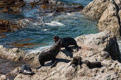 Fur Seal colony Stock Image