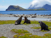 Fur seal colony, South Georgia. Fur seal colony at South Georgia stock image