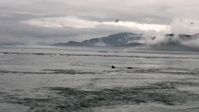 Fur seal dive in water of Pacific Ocean on background coast in Alaska. stock video