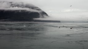 Fur seal dive in water of Pacific Ocean on background coast in Alaska. stock video footage