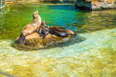 Fur seal family. Sitting on a stone in a pond royalty free stock photo
