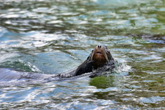 Fur seal floats Royalty Free Stock Image