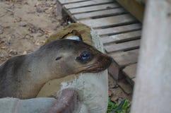 Fur seal in Galapagos Royalty Free Stock Photography
