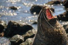 Fur Seal at Godthul. A Fur seal at Godthul, South Georgia,  showing it`s teeth Royalty Free Stock Photos