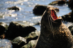 Fur Seal at Godthul Stock Image