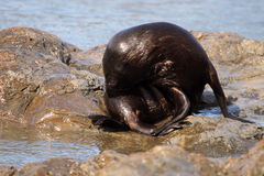 Fur Seal Grooming Stock Image