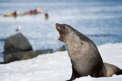 Fur seal growl Stock Photo
