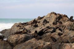 Fur Seal Herd in Rookery Stock Image