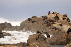 Fur Seal Herd in Rookery Royalty Free Stock Photo