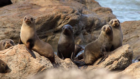Fur Seal Herd. A herd of Southern Fur Seals in their rookery in the South Pacific Royalty Free Stock Photos