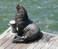 Fur seal itch Stock Photography