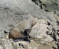 Fur Seal Stock Photo