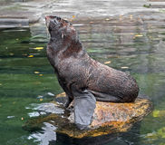 Fur seal 11 Royalty Free Stock Photography