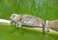 Fur seal lies on concrete, green water royalty free stock images