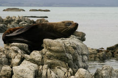 Fur seal lies on a rock, New Zealand Stock Photo