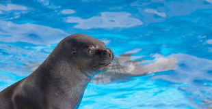 Fur seal  looking with interest Royalty Free Stock Images
