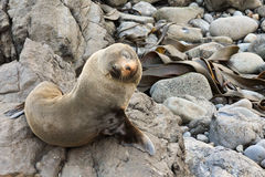 Fur Seal Looking Up Royalty Free Stock Image