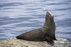 Fur seal in Moeraki Royalty Free Stock Images
