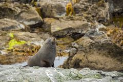 Fur seal in Moeraki Royalty Free Stock Image