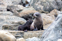 Fur seal mother and her baby Stock Photo