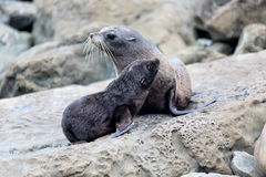 Fur seal mother and her baby together Royalty Free Stock Photo