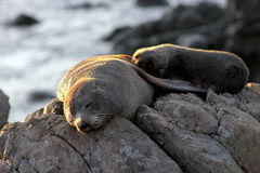 Fur Seal, Mother and Pup Stock Photography