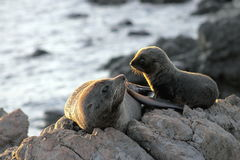 Fur Seal, Mother and Pup. A Mother and Pup Fur Seal at Cape Palliser, New Zealand Stock Photo