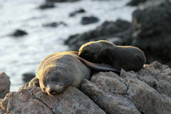 Fur Seal, Mother and Pup. A Mother and Pup Fur Seal at Cape Palliser, New Zealand Royalty Free Stock Image