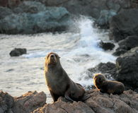 Fur Seal, Mother and Pup. A Mother and Pup Fur Seal at Cape Palliser, New Zealand Royalty Free Stock Photography