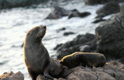 Fur Seal, Mother and Pup. A Mother and Pup Fur Seal at Cape Palliser, New Zealand Stock Image