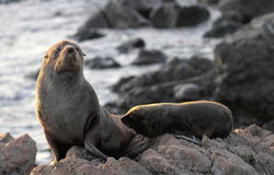 Fur Seal, Mother and Pup. A Mother and Pup Fur Seal at Cape Palliser, New Zealand Royalty Free Stock Images