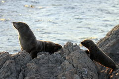 Fur Seal, Mother and Pup. A Mother and Pup Fur Seal at Cape Palliser, New Zealand Royalty Free Stock Photo