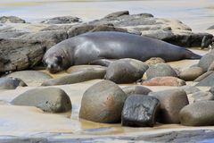 Fur Seal Napping Stock Images