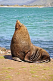 Fur seal, New Zealand Royalty Free Stock Images