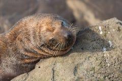 Fur Seal Stock Photography