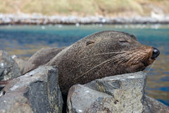 Fur seal, New Zealand Stock Photography