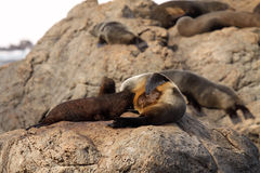Fur Seal Nursing. A baby Southern Fur Seal nursing in a rookery near the Pacific Ocean in New Zealand Stock Images