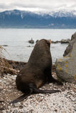 Fur seal on the ocean shore looks to the mountain Royalty Free Stock Image